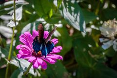 Pipevine Swallowtail Butterfly on an Pink Flower Stock Photo