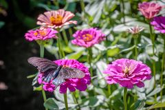 Pipevine Swallowtail Butterfly on a Pink Flower Royalty Free Stock Images