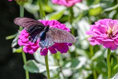 Pipevine Swallowtail Butterfly on a Pink Flower. Black and blue swallowtail resting on a pink flower like a dahlia or zinnia Royalty Free Stock Images