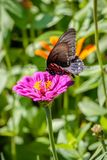 Pipevine Swallowtail Butterfly on a Pink Flower. Black and blue swallowtail resting on a pink flower like a dahlia or zinnia Stock Images