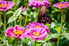 Pipevine Swallowtail Butterfly on a Pink Flower. Black and blue swallowtail resting on a pink flower like a dahlia or zinnia Royalty Free Stock Photography