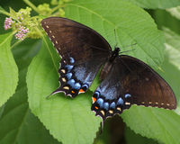 Black and blue Tiger Swallowtail butterfly. Eastern Tiger Swallowtail butterfly on a green leaf with wings outspread Royalty Free Stock Photo