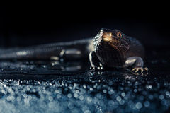 Black blue tongued lizard in wet dark environement Stock Images