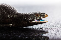 Black blue tongued lizard in wet dark shiny environement Stock Images