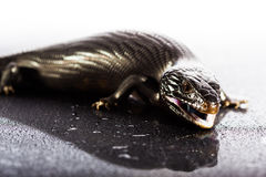 Black blue tongued lizard in wet shiny environement Stock Photo