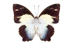 Black blue and white butterfly Agatasa calydonia Royalty Free Stock Photos