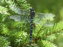 Black Blue and White Dragonfly Royalty Free Stock Image
