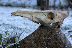 Black boar skull in snow Royalty Free Stock Photography