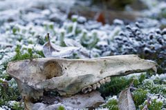 Black boar skull in snow Royalty Free Stock Image
