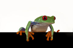 Black Board Frog Stock Photography