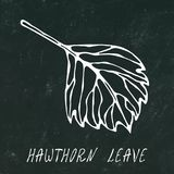 Black Board. Green and Yellow Hawthorn Leaf. Autumn or Fall Harvest Collection. Realistic Hand Drawn High Quality Vector Illustrat vector illustration