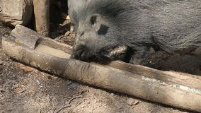 Black boars drink dirty water from a wooden drinker. Hut in the jungles of India. stock footage