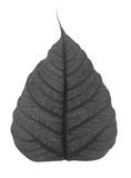 Black bodhi leaf isolated Royalty Free Stock Photos