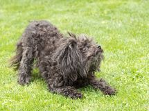 Black bolognese dog is keen on playing with its master.  royalty free stock images