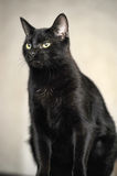 Black Bombay cat Stock Photos