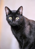 Black Bombay cat Stock Image