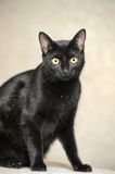 Black Bombay cat Royalty Free Stock Photography