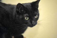 Black Bombay cat Royalty Free Stock Images