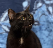 Black Bombay cat with a little speck on the chest Stock Photography