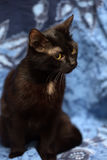 Black Bombay cat with a little speck on the chest Royalty Free Stock Image