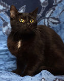 Black Bombay cat with a little speck on the chest. On a blue background Stock Image
