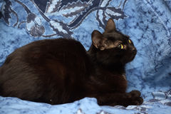 Black Bombay cat with a little speck on the chest. On a blue background Stock Images