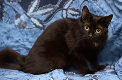 Black Bombay cat with a little speck on the chest. On a blue background stock photos