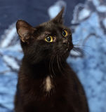 Black Bombay cat with a little speck on the chest. On a blue background Royalty Free Stock Photos