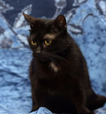 Black Bombay cat with a little speck on the chest Stock Images