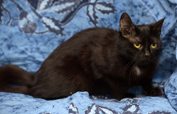 Black Bombay cat with a little speck on the chest. On a blue background Royalty Free Stock Photo