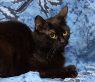 Black Bombay cat with a little speck on the chest. On a blue background Stock Photo