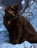 Black Bombay cat with a little speck on the chest. On a blue background Royalty Free Stock Image