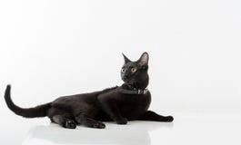 Black Bombay Cat Lying on the White Background. Royalty Free Stock Photography