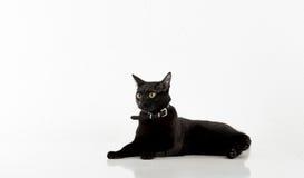 Black Bombay Cat Lying on the White Background. Royalty Free Stock Photos