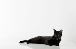 Black Bombay Cat Lying on the White Background. Stock Photo