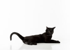 Black Bombay Cat Lying on the White Background. Stock Photography