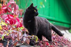 Free Black Bombay Cat On House Roof Outdoor In Autumn Nature With Fall Colorful Ivy Leaves Background Stock Photos - 215099023