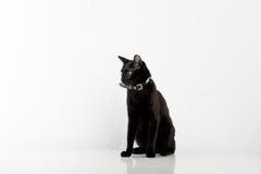 Black Bombay Cat Sitting on the White Background Stock Image