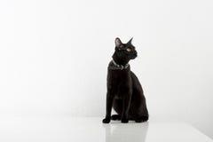 Black Bombay Cat Sitting on the White Background Stock Photo