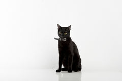 Black Bombay Cat Sitting on the White Background Stock Images