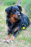 Black Border Collie. Laying in grass Royalty Free Stock Photography