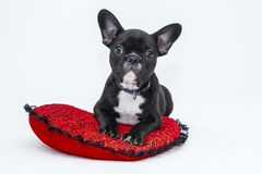 Black Boston terrier on red pillow Royalty Free Stock Images