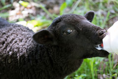 Orphan Lamb feeding. Black Bottle feed orphaned lamb Stock Photography