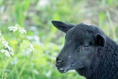 Orphan Lamb feeding. Black Bottle feed orphaned lamb Royalty Free Stock Photos