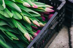 Black box with pink tulips. Black box with pink young  tulips on stone Stock Photo