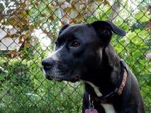 Black boxador dog beside fence Stock Photo