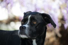 Black boxer greyhound mixed breed dog profile blurred background. Partial body shot of a large breed black dog is looking to her right.  She is a boxer greyhound Royalty Free Stock Photography