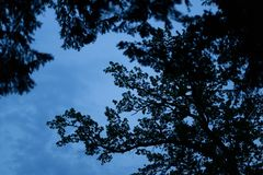 Black branches of the coniferous tree Royalty Free Stock Images