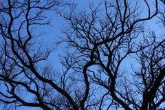 Black branches of Robinia pseudoacacia against blue sky. Black branches of Robinia pseudoacacia against the sky Stock Photos