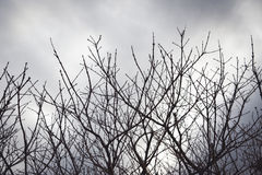 Black branches in the sky white Royalty Free Stock Images